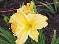 Unknown Daylilies on West Slope S4 - 9293306525.jpg