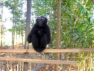 Eastern hoolock gibbon species of mammal