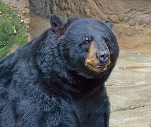 American black bear - Detail of head – taken at the Cincinnati Zoo