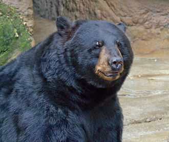 American black bear - Detail of head – taken at the Cincinnati Zoo and Botanical Garden.