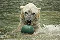 Ursus maritimus at the Bronx Zoo 007.jpg