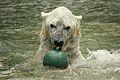 Ursus maritimus at the Bronx Zoo 007.jpg