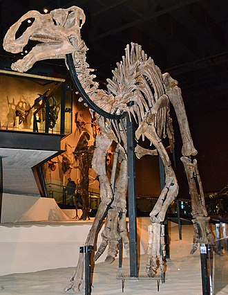 Gryposaurus - G. monumentensis skeleton in the Natural History Museum of Utah