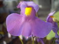 UtriculariaAlpinaFlora.jpg