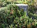 Vaccinium vitis-idaea at stump of Pinus sylvestris.jpg