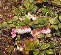 Vaccinium vitis-idaea in Mount Norikura.JPG