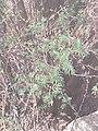 Vachellia farnesiana by Prahlad balaji.jpg
