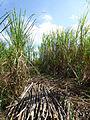 Vallée de Viñales-Champ de canne à sucre.jpg