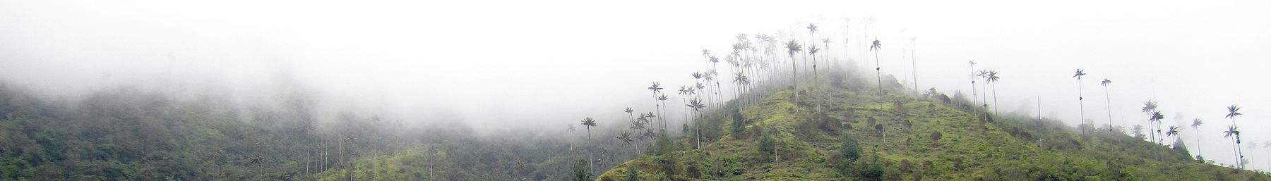 Wax palms in the clouds
