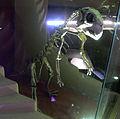 Venezia - Museo di storia naturale - Psittacosaurus mongoliensis.jpg