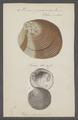 Venus puerpera - - Print - Iconographia Zoologica - Special Collections University of Amsterdam - UBAINV0274 077 12 0002.tif