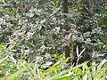 Vernonia arborea (5597889115).jpg
