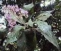 Vernonia arborea 12.JPG