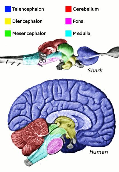 File:Vertebrate-brain-regions.png