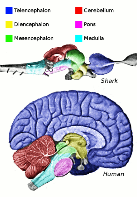 Main anatomical regions of the vertebrate brain - Brain tumor