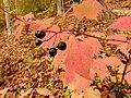 Viburnum acerifolium (22921662722).jpg