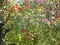 Viburnum opulus Compactum.JPG