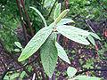 Viburnum rhytidophyllum a1.jpg