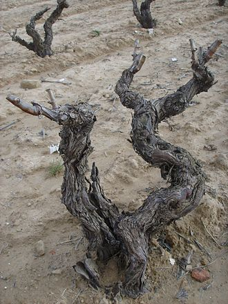 "Rioja (wine) - The ""old vines"" of the Alavesa regions can produce very concentrated grapes but in low yields."