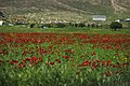 View of a poppy field in Sardashte Camp for Ezidi IDPs in May of 2019, atop Shingal mountain 02.jpg