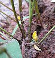 Vigna subterranea flower.JPG