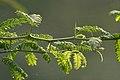 Vilaiti Keekar (Prosopis juliflora) leaves & spines W IMG 1147.jpg
