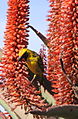 Village weaver (Ploceus cucullatus) - in aloe flowers (5957473745).jpg