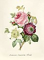 Vintage Flower illustration by Pierre-Joseph Redouté, digitally enhanced by rawpixel 89.jpg