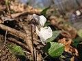 Viola alba 2.jpg
