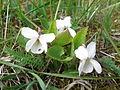 Viola alba subsp. scotophylla sl2.jpg