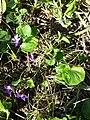 Viola alba subsp. violacea sl1.jpg