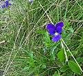 Viola guestphalica 02.jpg