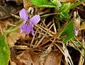 Viola hirta 04.jpg