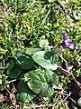 Viola odorata sl22.jpg