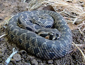 Description de l'image Vipera_palaestina.jpg.