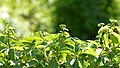 Virginia Creeper (Parthenocissus quinquefolia) - Kitchener, Ontario.jpg