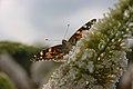 Vlinder (3805221912).jpg