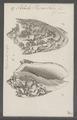 Voluta vespertilio - - Print - Iconographia Zoologica - Special Collections University of Amsterdam - UBAINV0274 087 04 0009.tif
