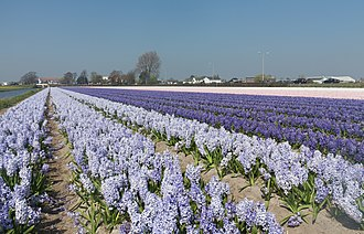 Voorhout - Field with hyacinths