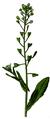 WWB-0030-010-Capsella bursa-pastoris-crop.png