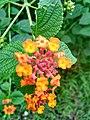 Wayanadan-random-flowers IMG 20180524 094214 HDR (42377963401).jpg