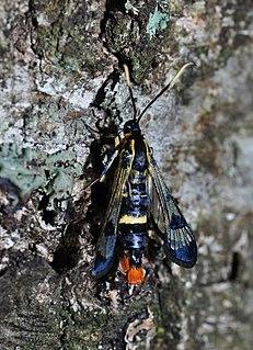 <i>Synanthedon scoliaeformis</i> Species of moth