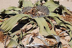 Welwitschia mirabilis S&J8.jpg