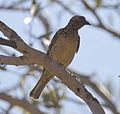 Western bowerbird 2 (7984919377).jpg
