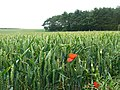 Wheatfield with poppies - geograph.org.uk - 1418606.jpg