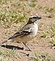 White-browed Sparrow Weaver (Plocepasser mahali) (32553406355).jpg