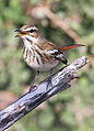White-browed scrub robin, Cercotrichas leucophrys at Mapungubwe National Park, Limpopo, South Africa (17816564679).jpg