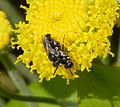 White-faced Bees. Hylaeus ssp - Flickr - gailhampshire.jpg