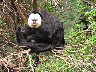 White-faced saki Species of New World monkey
