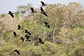 White-faced whistling ducks (Dendrocygna viduata) in flight.JPG